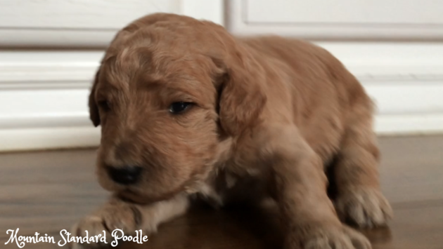 Standard Poodle Puppy 2 Weeks Old Just Opened His Eyes Poodle Puppy Standard Poodle Puppy Poodle