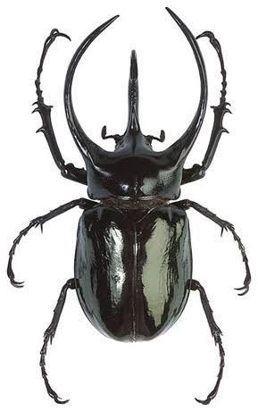 Resultado de imagen para escarabajos | Insectos | Pinterest ...