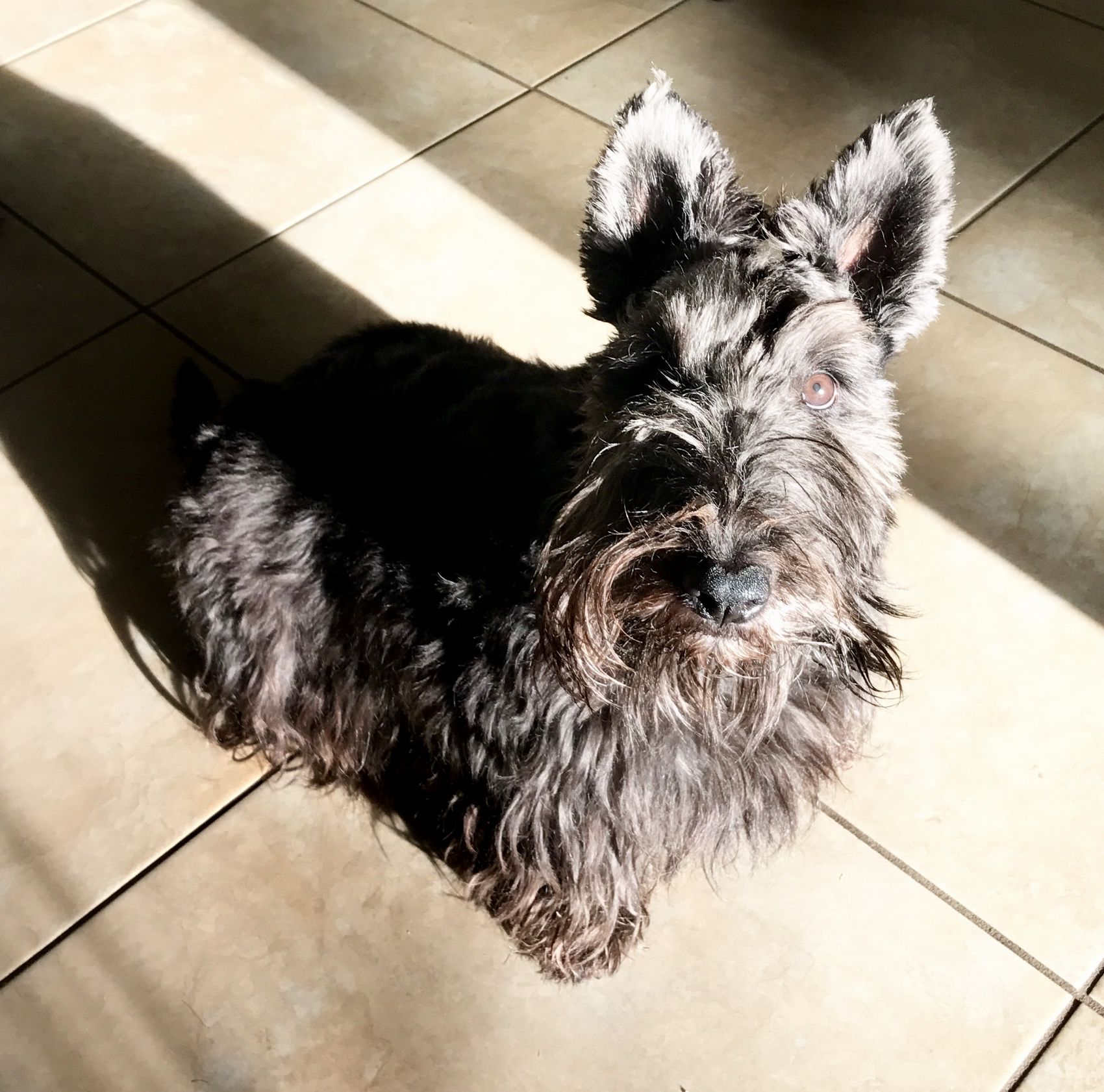 Pin by Annie O'Brien on Scotties Scottish terrier