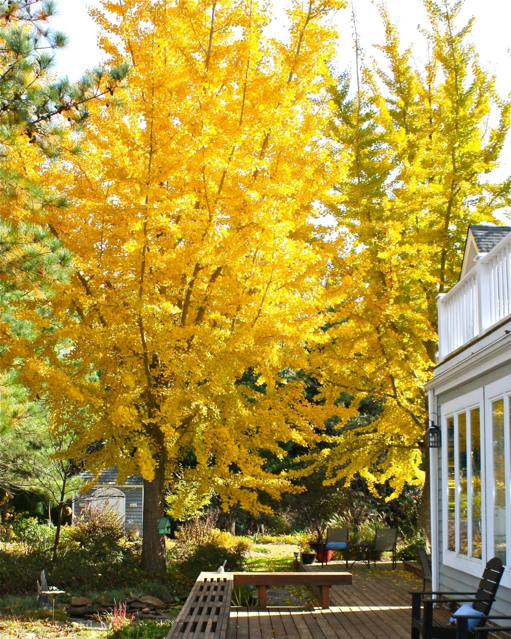 Posts About Ginkgo Biloba On Breaking New Ground In Zone 5 Ginkgo Tree Deciduous Trees Garden Planning