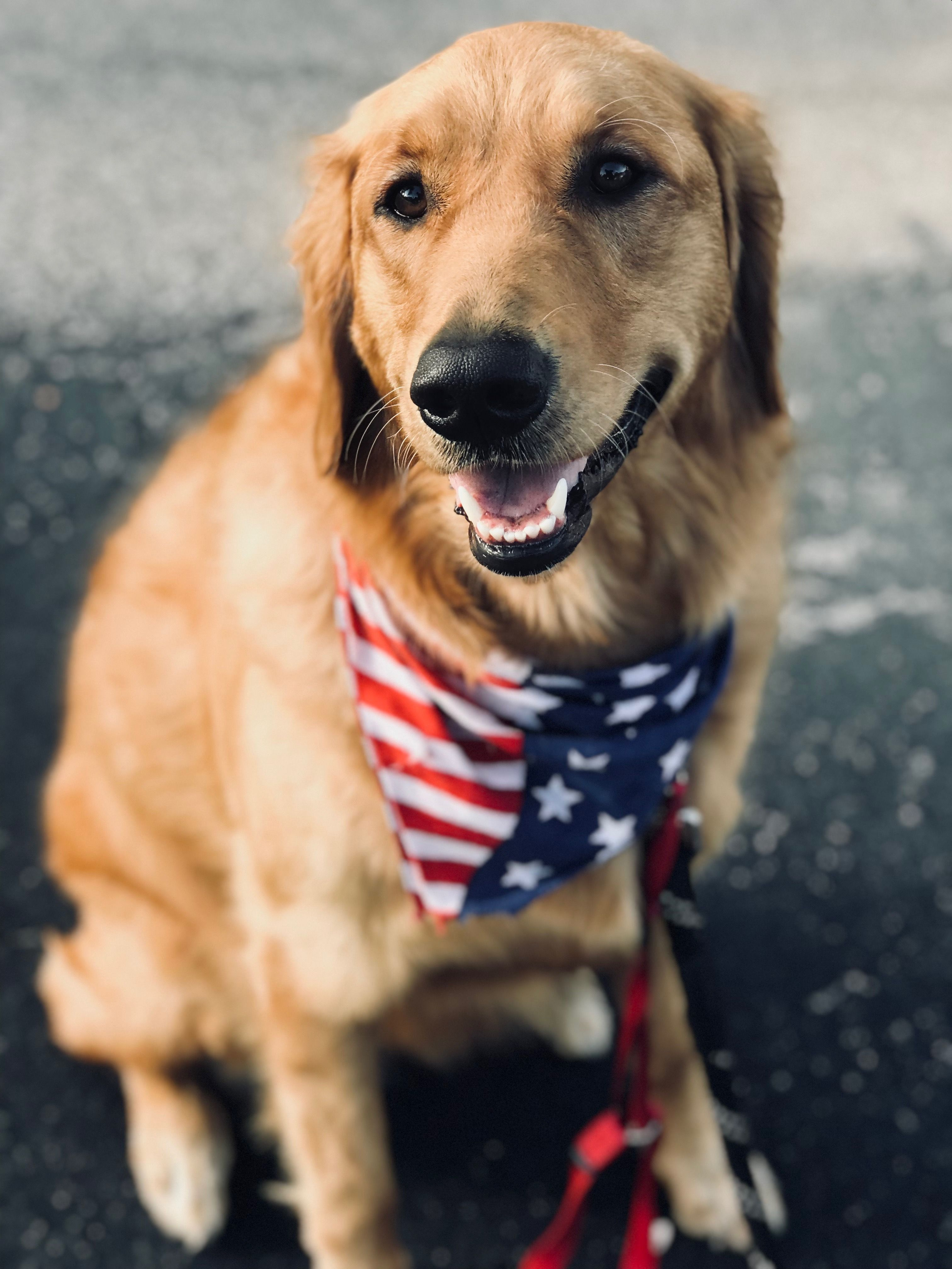 Golden retriever, Fourth of July, dogs, puppy, golden