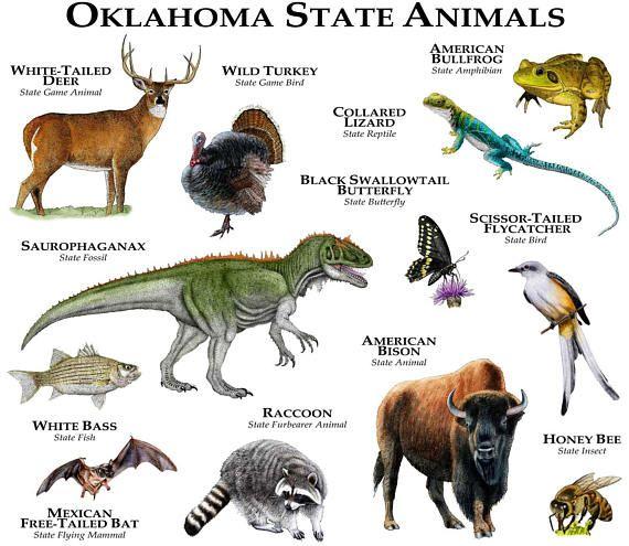 Oklahoma State Animals Poster Print