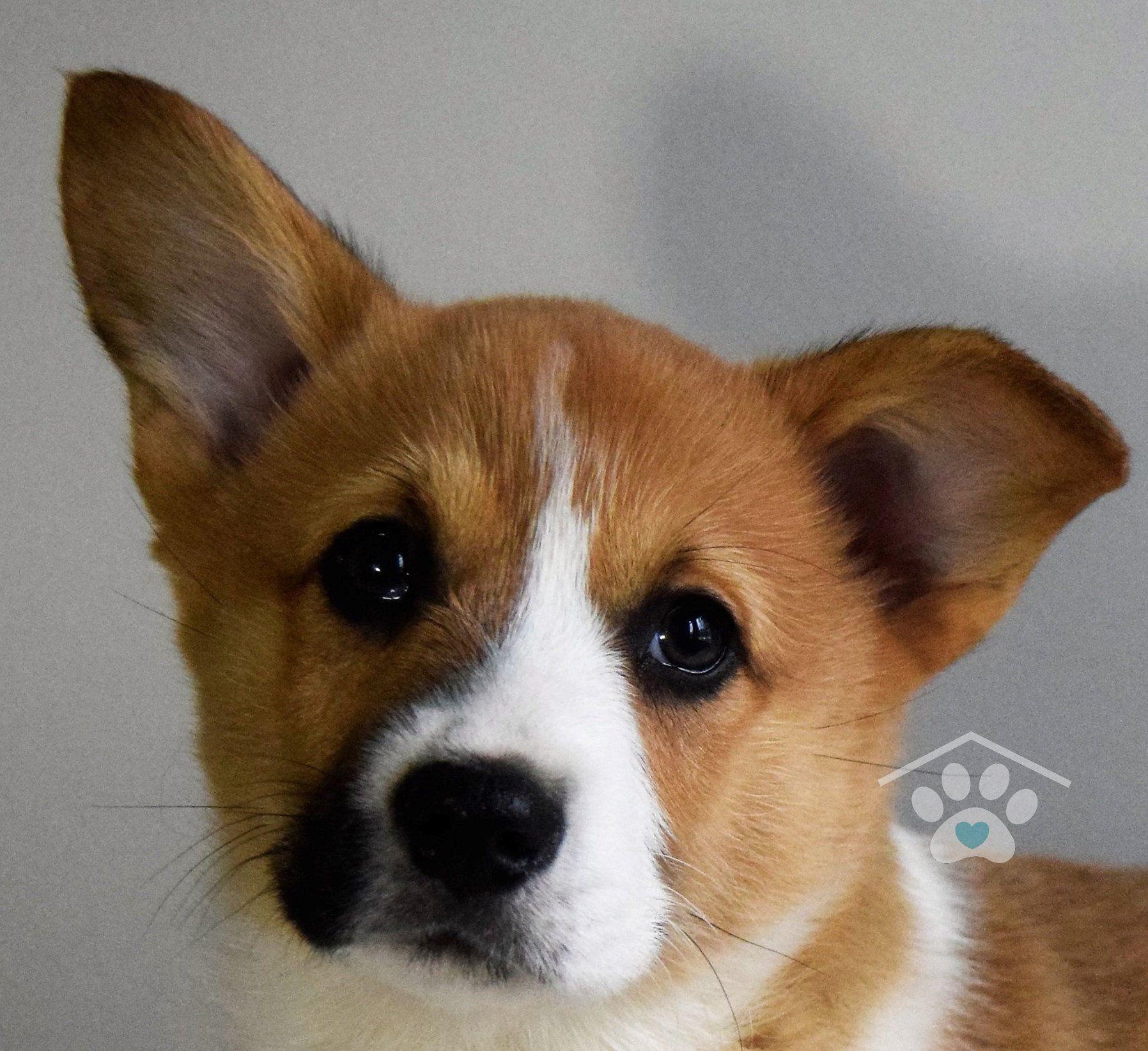 Corgi Puppy Cost Breeder Ideas