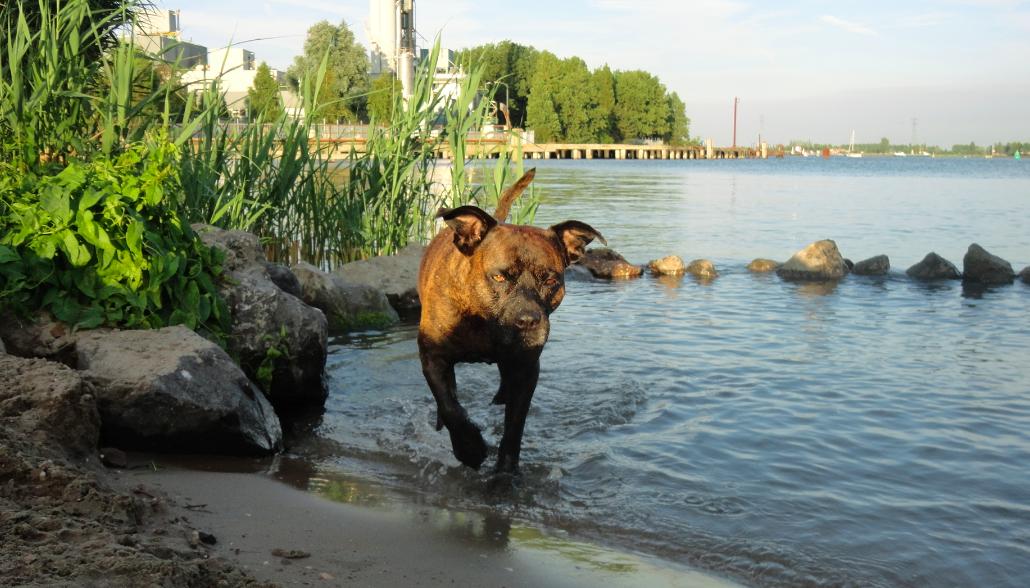 Lana ist ein älterer Hund von 11 Jahren, die einige Gelenkprobleme hat. Ihre Arthritis hält sie aber nicht vom schwimmen ab - eine ihrer Lieblingsbeschäftigungen. Über Lana und Kafka, den schwarzen Höllenhund mehr auf http://www.tomatetomate.eu