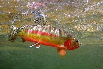 California Golden Trout Rainbow Trout Fishing