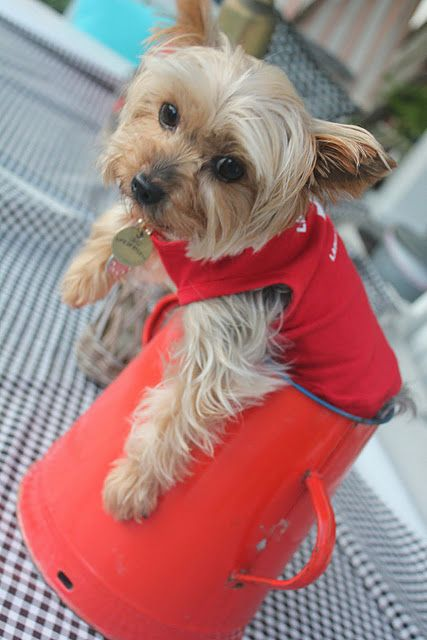 Yorkie    love your Yorkie collection.  I have one and she's spoiled rotten.  http://pinterest.com/pin/77616793549266512/