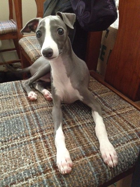 Such A Handsome Iggy Puppy My Italian Greyhound Dog