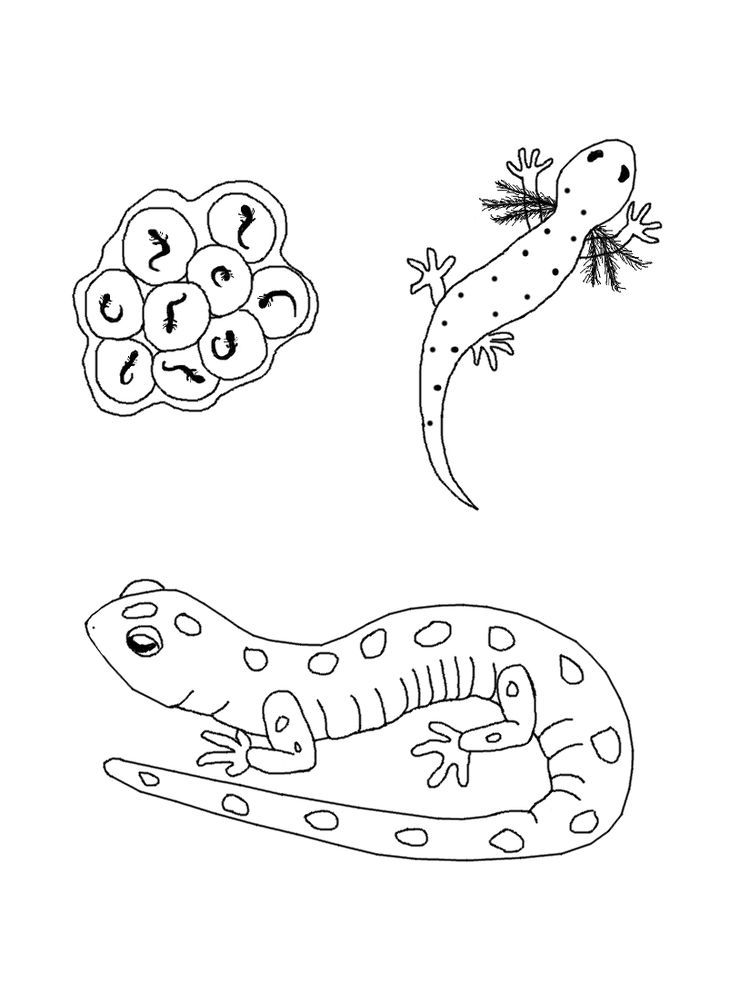 Salamander Coloring Pages Printable Salamanders Are Amphibian And Close Relatives Of Frogs They Coloring Pages Animal Coloring Pages Printable Coloring Pages