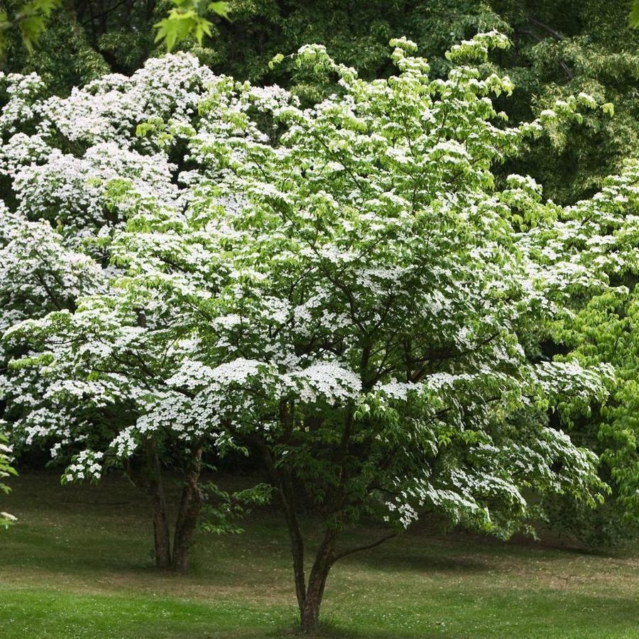 Brighter Blooms 2 06 Quart Kousa Dogwood Tree Flowering Tree N A Kou Gre 34 2qt Dogwood Trees Kousa Dogwood Tree Kousa Dogwood