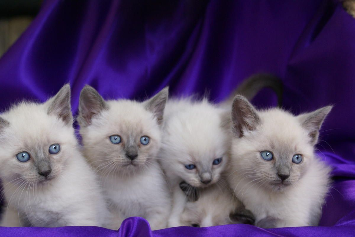 Gorgeous Purebred Siamese Kittens Blue Point And Seal Point In