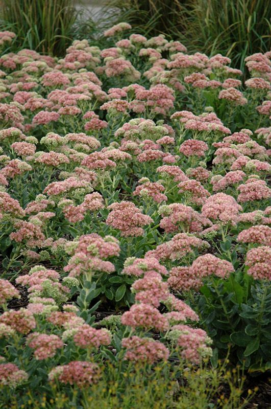A highly desirable and popular groundcover forming a dense mound a highly desirable and popular groundcover forming a dense mound completely covered in broccoli like salmon pink flowers which fade to red in early fall mightylinksfo