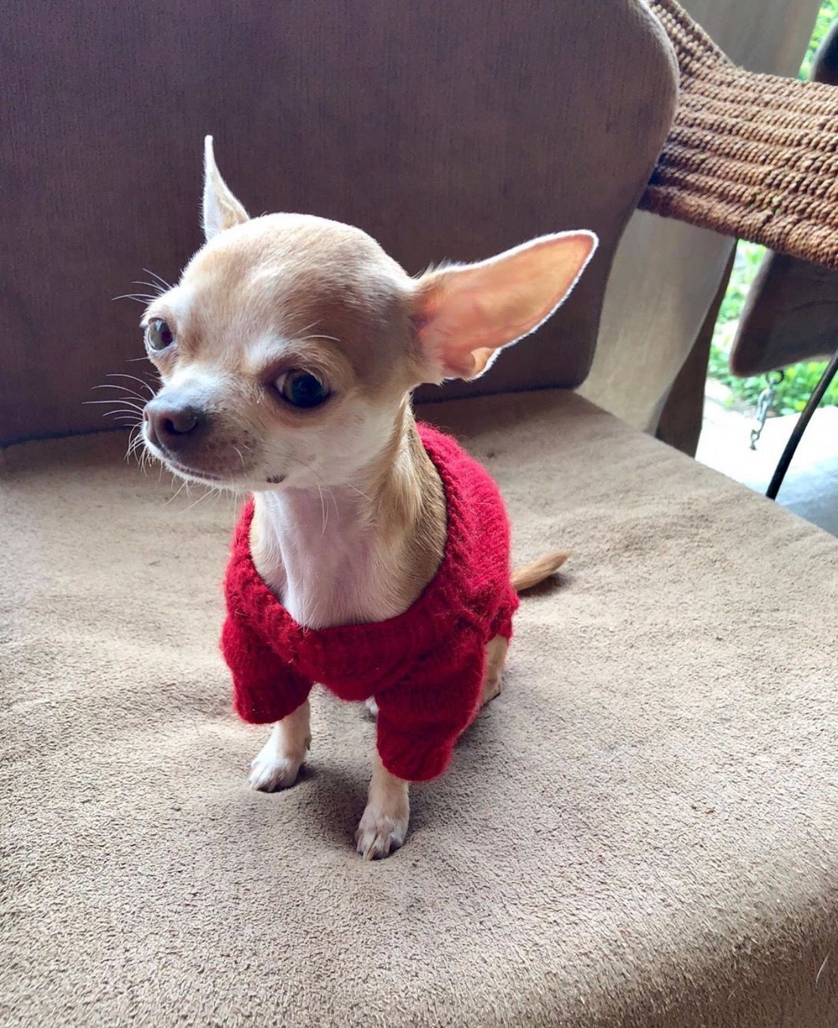 Chihuahua Chiwawa Check Out Other Chihuahua Clothes Click Our