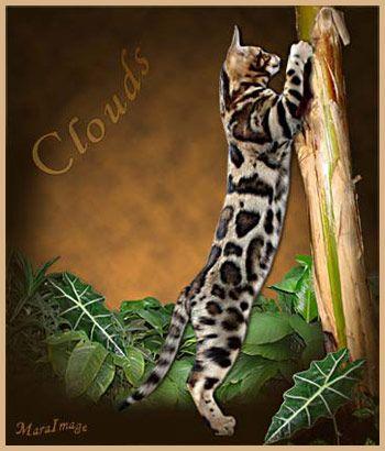 Dazzledots Bengal Cats In Canada