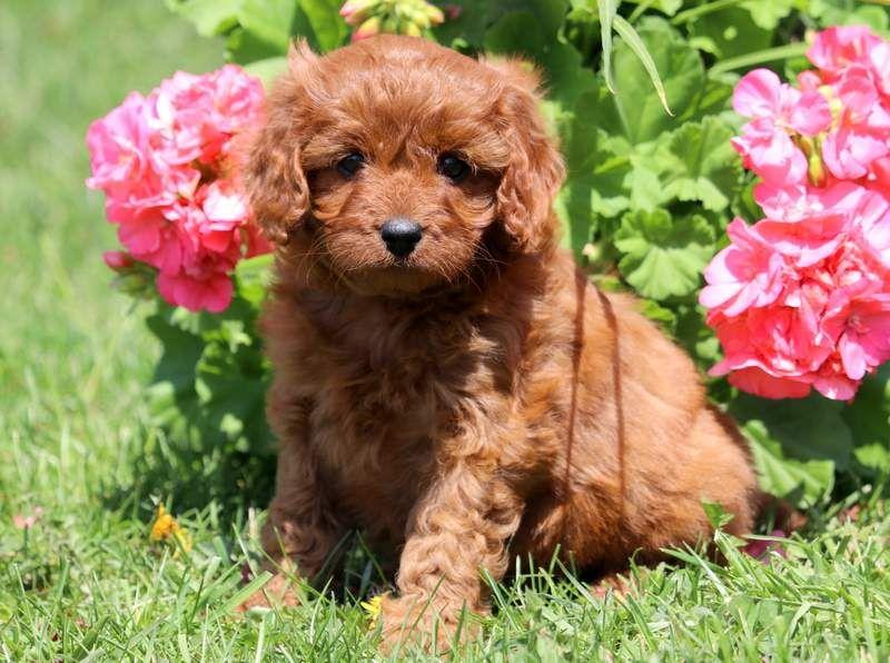 Cassandra Keystone Puppies Puppies For Sale Health Guaranteed Cavapoo Keystonepuppies Puppies For Sale Cavapoo Puppies Cavapoo Puppies For Sale