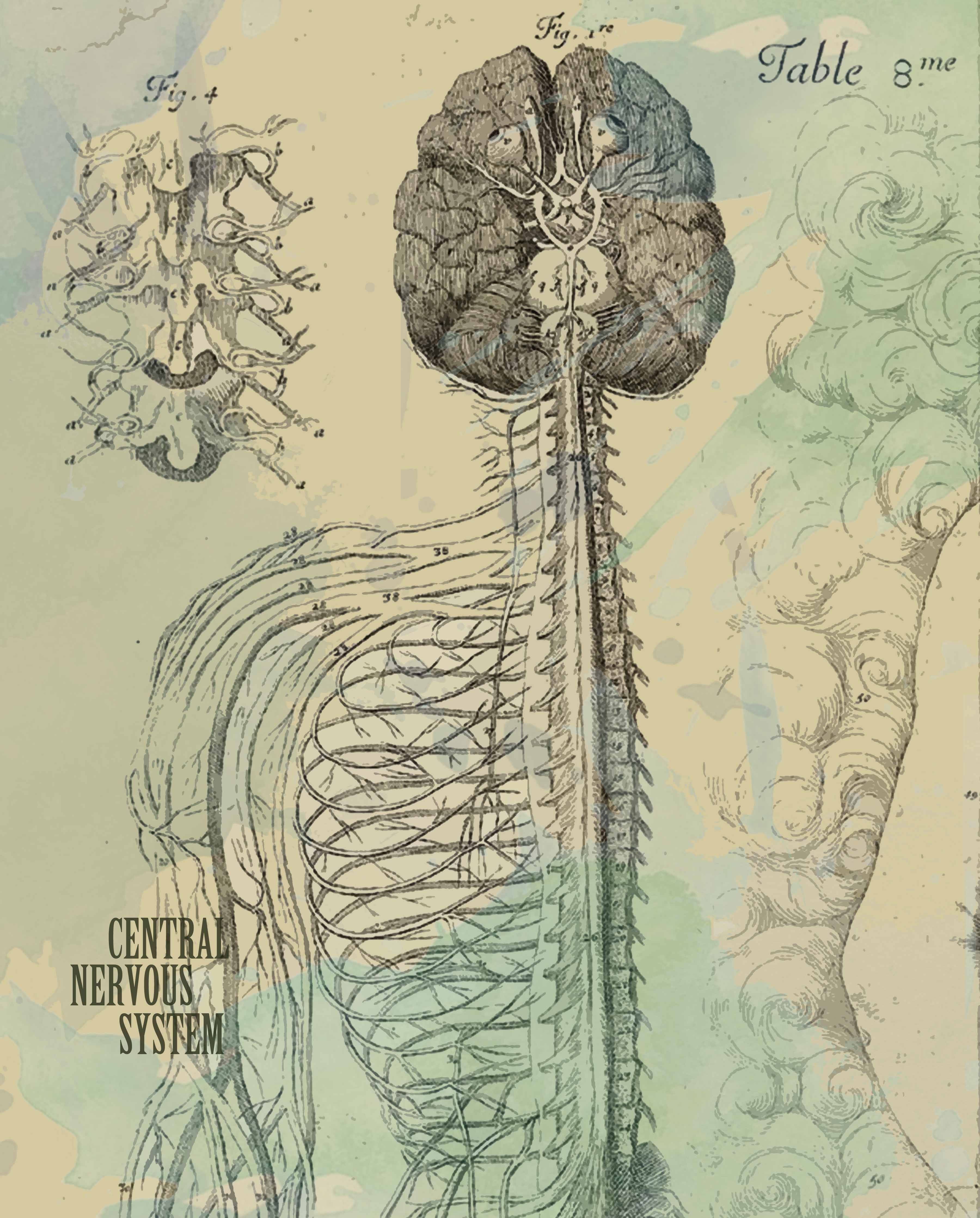 We Love The Anatomy Of The Nervous System Because It
