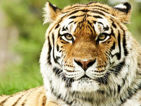 Tigre De Bengala Tiger Pictures Big Cats Photography Majestic Animals