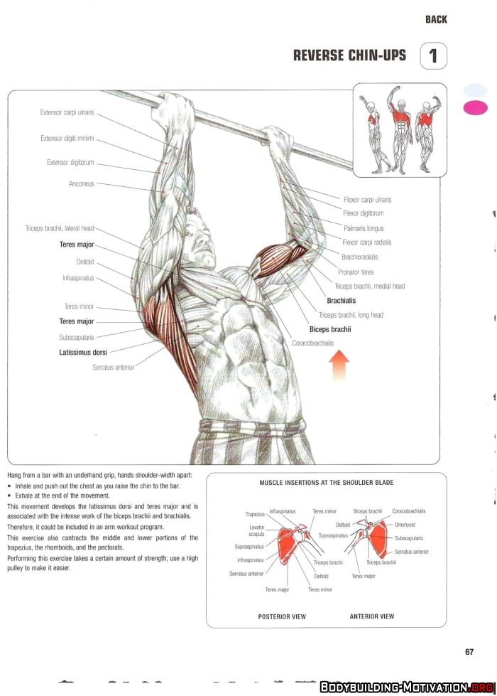 Training Anatomy - Back - Reverse Chin-Ups | Gym - Arms | Pinterest ...