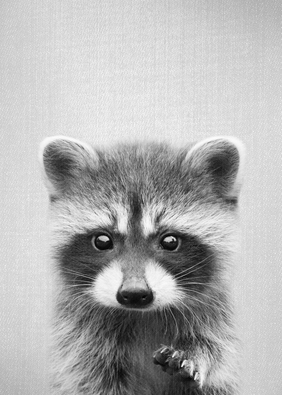 Raccoon BW Nature Poster Print metal posters Displate