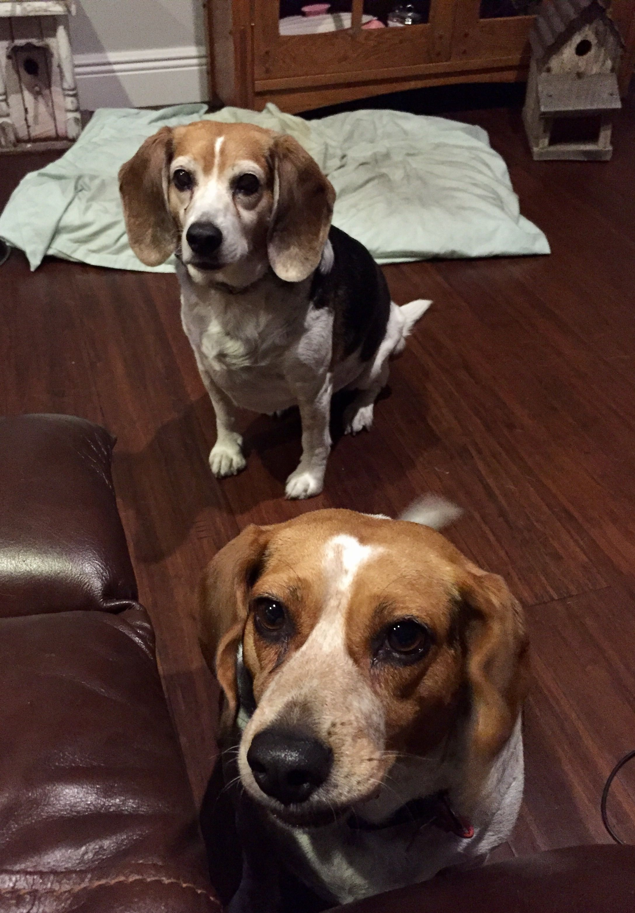 Tennessee sisters Cute beagles
