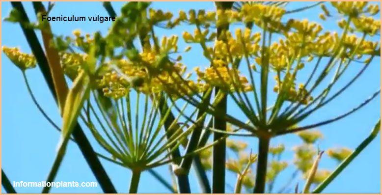 الشمر فوائد ومعلومات قسم النبات العطري نبات عطري معلومان عامه معلوماتية نبات حيوان اسماك فوائد Plants