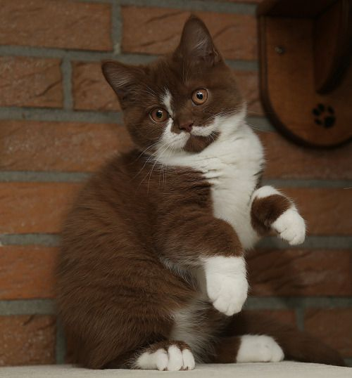 "miss-nessa: ""trebled-negrita-princess: "" adequategatsbys: "" ""I have never  before seen such a brown kitty. "" "" IT LOOKS LIKE A S'MORES POPTART "" What  is this ..."