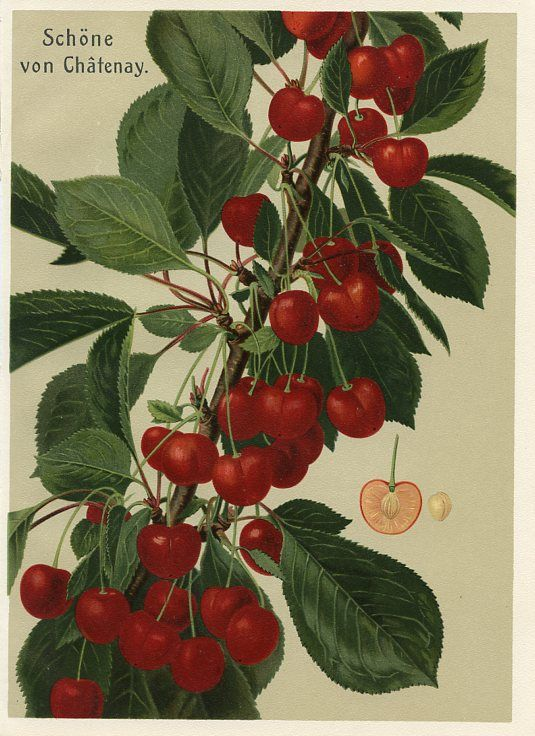 Schone von Chatenay   German Fruit Prints (Germany , early 1900s)