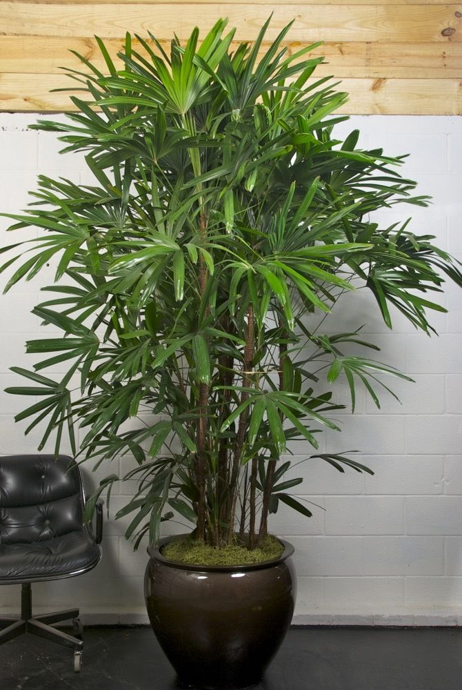 Extra Large Rhapis Lady Palm P*T Plants Indoor Plants 400 x 300