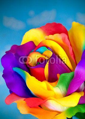 Rose Arc En Ciel : Flower©, Panpote, Fleurs, Arc-en-ciel,, Couleur,, Couleur