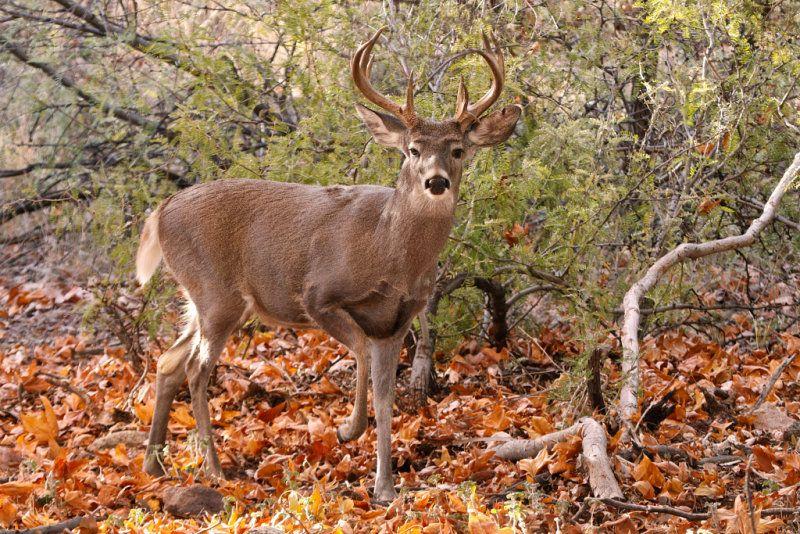 Black whitetail deer pics — 7