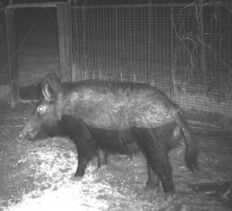 DIY gate trigger for feral hog traps  What to do  How to choose