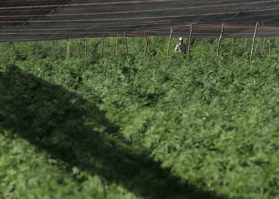 Un soldat marche à travers un immense champ de marijuana découvert à San Quintin, le 13 juillet 2011.