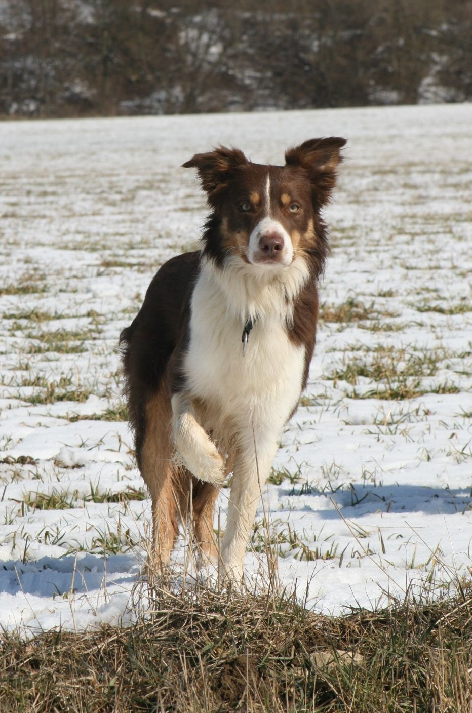 Red Tricolour Border Collie Dog Blue Moon Forest Land Chilabo Dodge Border Collie Dog Dog Breeds Border Collie