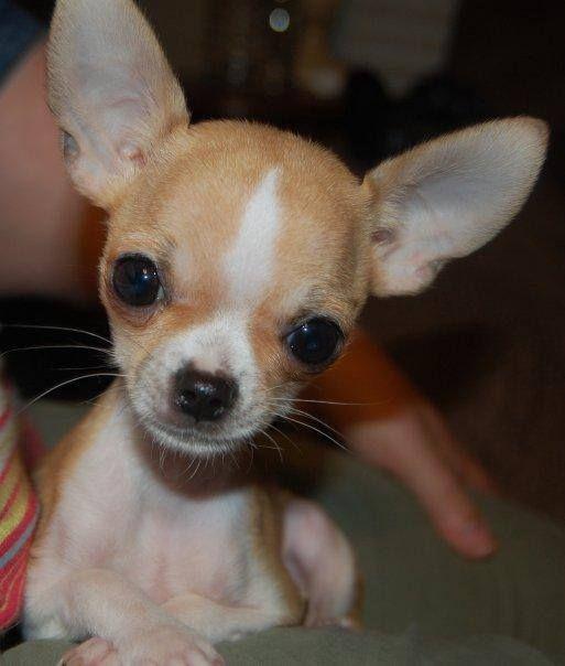Omg Soooooo Cute Chihuahua Puppies Chihuahua Dogs Cute Chihuahua