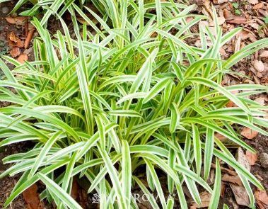 Variegated Lilyturf Monrovia Variegated Lilyturf With Images Variegated Liriope Monrovia Plants Ornamental Grasses