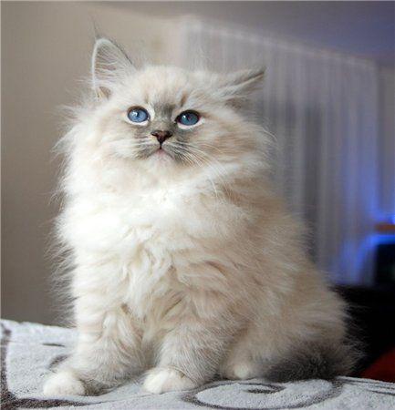 Romantic Melody S Neva Masquarade Sibirische Katze Sibirische Katze Katzen Neva Masquarade