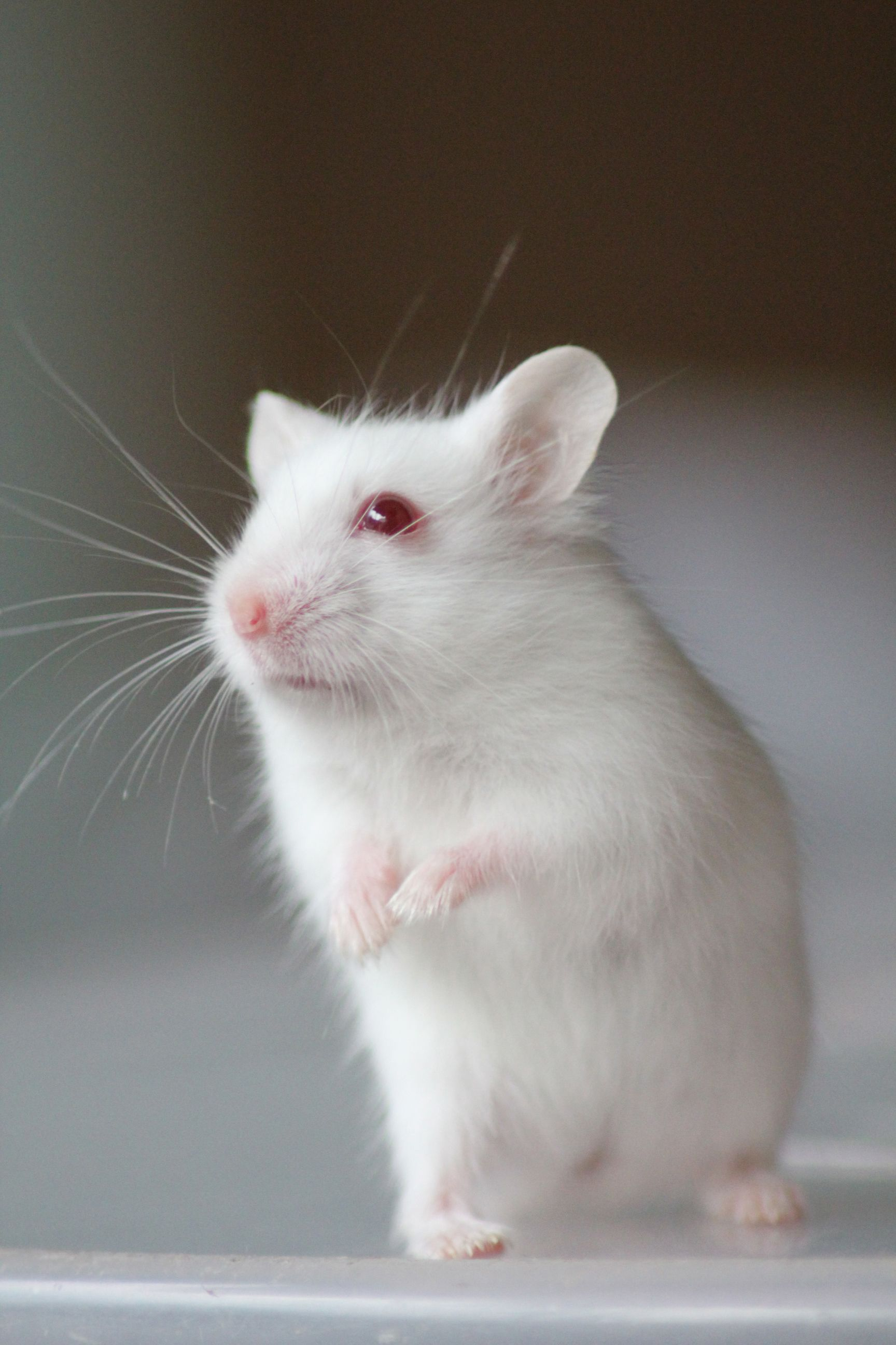 white dwarf hamster with red eyes - photo #13