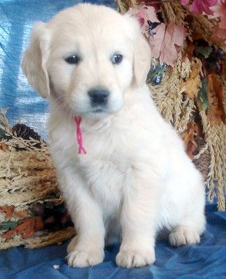 Are You Looking To Get Yourself A Golden Retriever Puppy Why