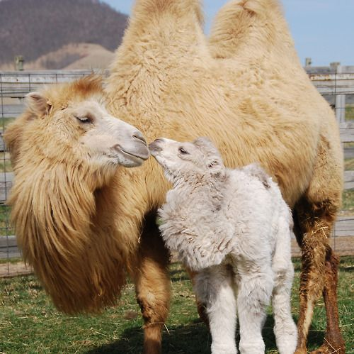 Willard And Christine Basler, Two Bactrian Camels From