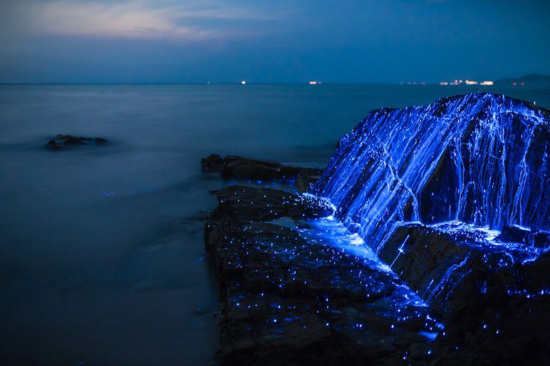 Shooting Sea Fireflies Lighting Up The Rocks On A Japanese Beach - Bioluminescent shrimp create blue rivers of light in japan
