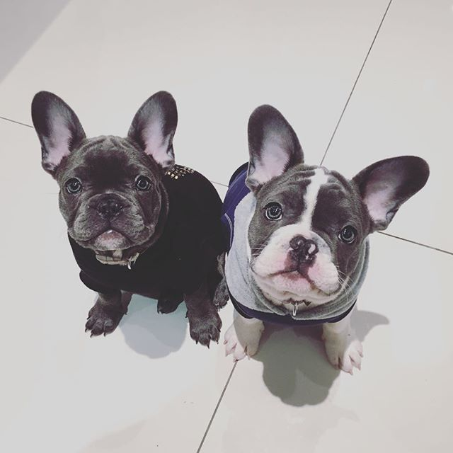 """""""This is what we do when we're waiting for our Food"""", Stare Bears, French Bulldog Puppies, #dog #dog #puppy #pup #frenchbulldog #cute #eyes #instagood #dogs_of_instagram #pet #bulldog #animal #animals #petstagram #petsagram #dogsitting #photooftheday #dogsofinstagram #ilovemydog #instagramdogs #nature #dogstagram #dogoftheday #lovedogs #lovepuppies #hound #adorable #doglover #instapuppy #instadog"""
