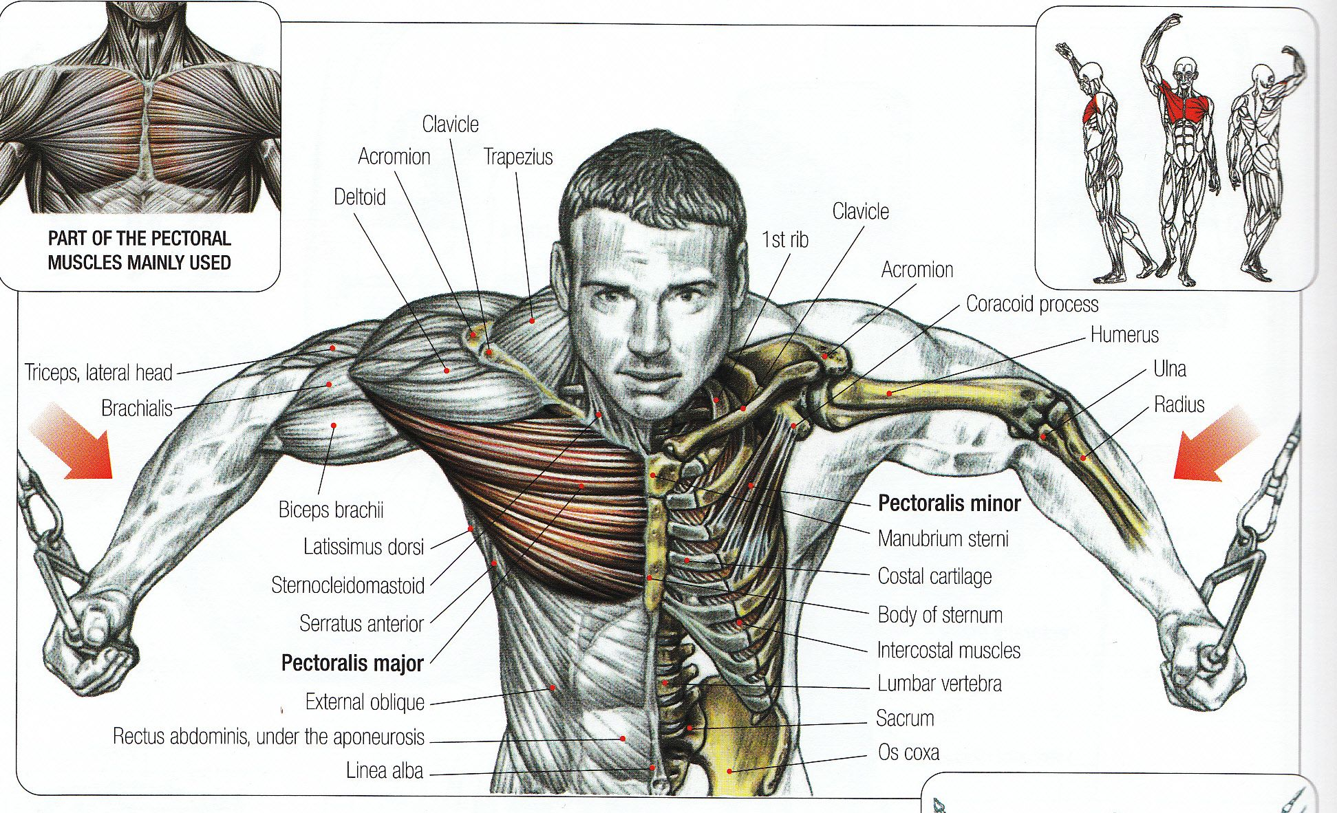 Gym Workout Chart For Chest For Men Bodybuilding Poster Anatomy Google Search Warrior