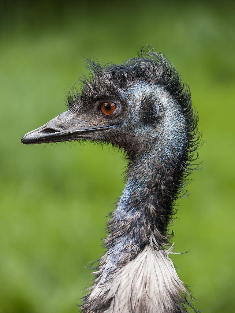 Emu (Dromaius novaehollandiae). Flightless bird native to