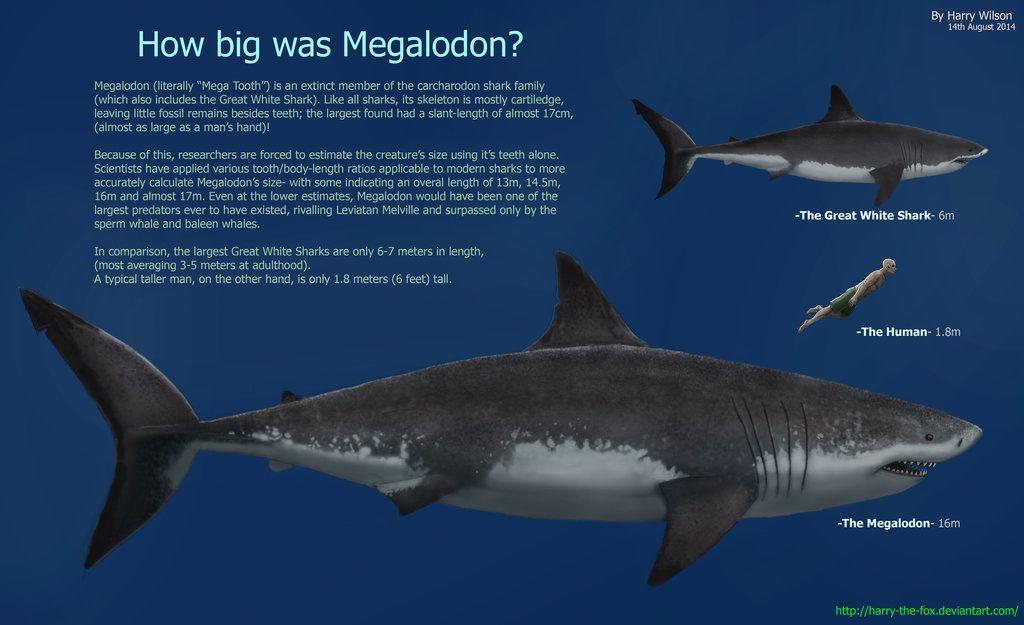 Megalodon Size Chart - Bing Images | Sharks | Pinterest ...