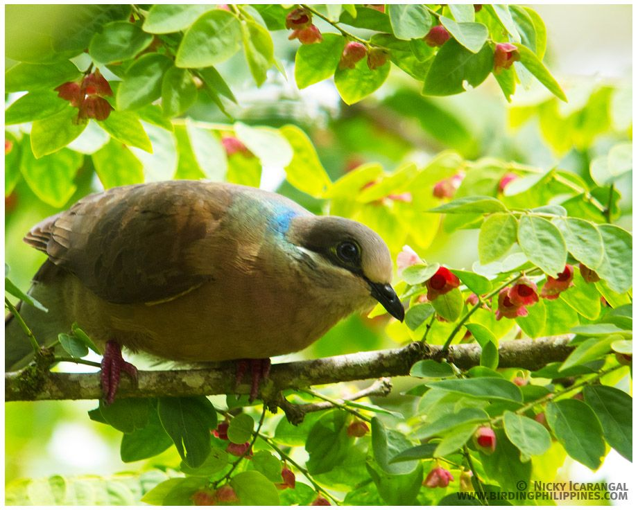 White-eared Brown Dove (Phapitreron leucotis)