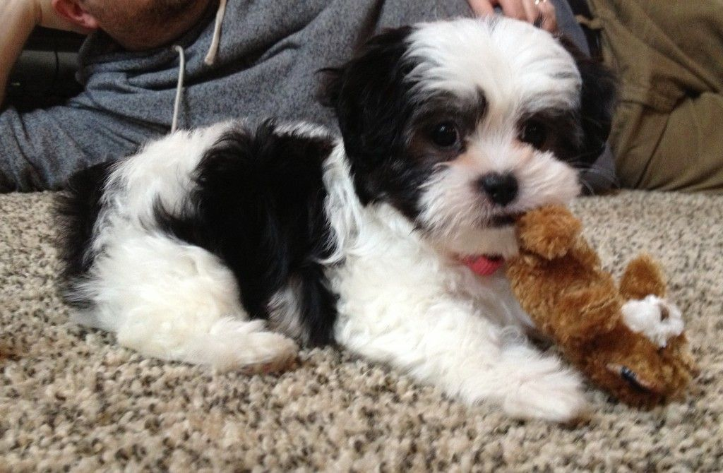 Mabel Our Malshi Puppy Puppies Shih Tzu Puppy Shih Tzu