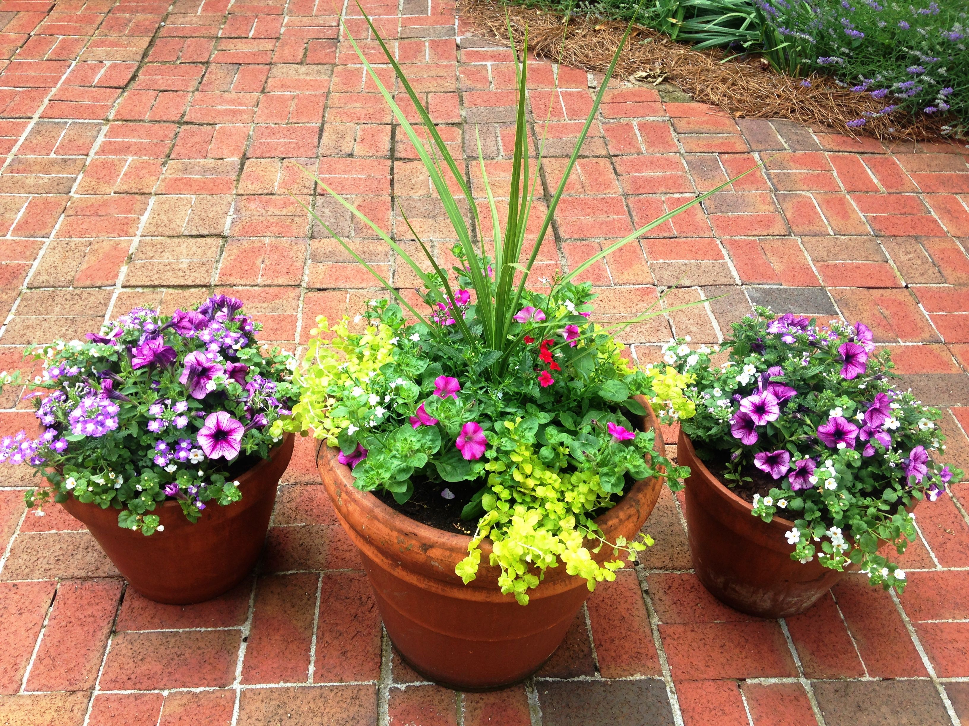 Porch Pots Center Pot Has A Thriller Dracena Spike Filler Pastel Mix Of Petunias Verbena And Lobelia And A Spiller Cre Creeping Jenny Dracena Plants