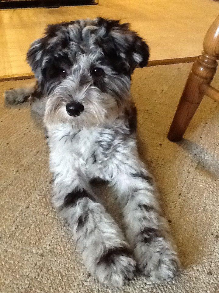 My schnoodle, Tinker Tinker Pinterest Dog, Animal