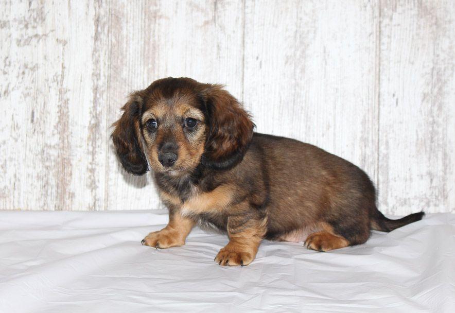 Burno a male AKC Dachshund puppy for sale in Shipshewana