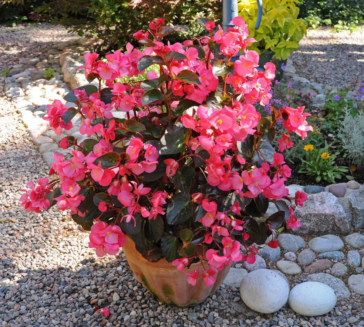 200 Begonia Big Rose Bronze Leaf Live Plants Plugs Garden Home Planters 296 Plants Begonia Live Plants