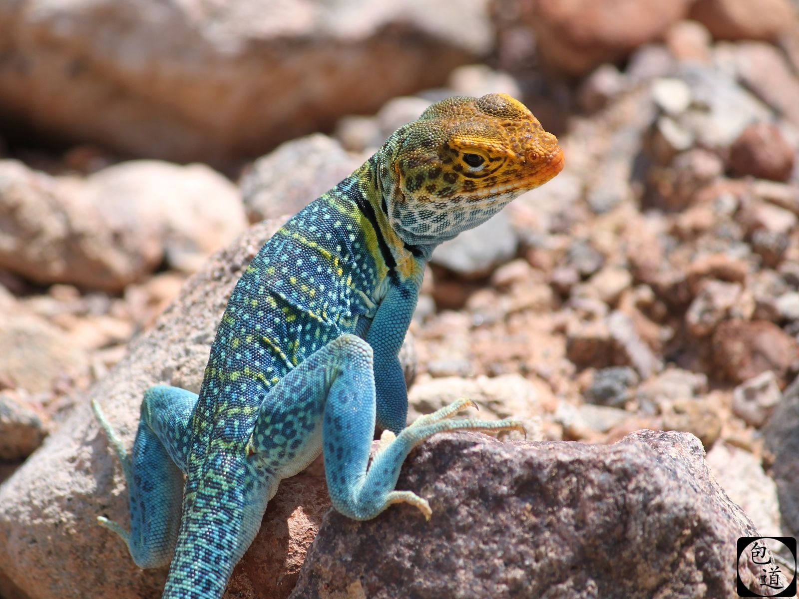 collared lizards for sale | COLLARED LIZARD image ...